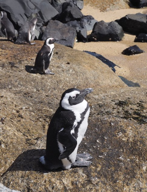 Penguins bij Boulder Beach