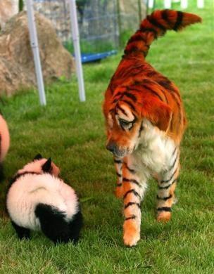 perros-labrador-tigre