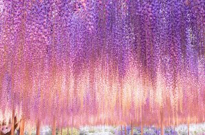 oldest-wisteria-tree-ashikaga-japan-3