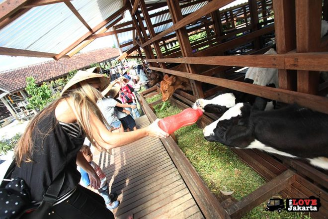 Feeding calfs at Kuntum Bogor_Quantum Nursery Bogor_Kuntum Farmfield Bogor_Tasha May_welovejakarta_we love jakarta_jakarta with kids_kids in indonesia_what to do with kids on the weekend in jakarta