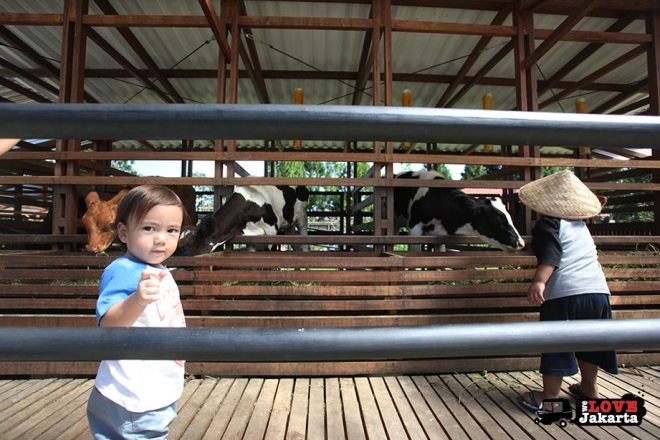 Calves at Kuntum Bogor_Quantum Nursery Bogor_Kuntum Farmfield Bogor_Tasha May_welovejakarta_we love jakarta_jakarta with kids_kids in indonesia_what to do with kids on the weekend in jakarta