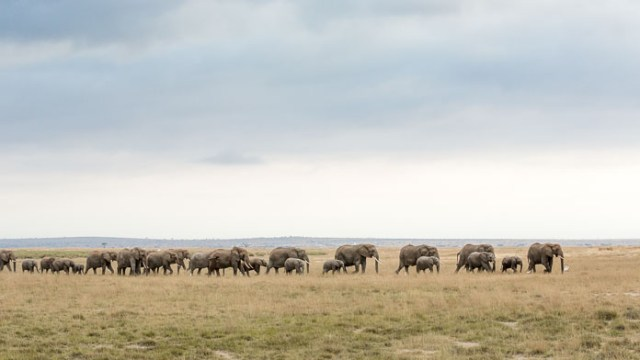 elephants on plains of Amboseli, Kenya