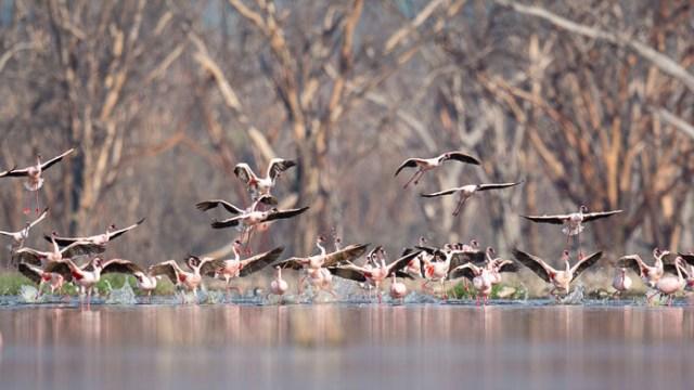 The flamingos of Lake Nukuru, Kenya
