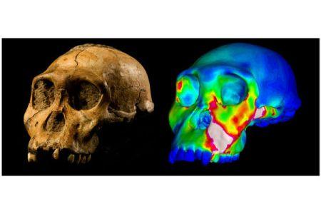 australopithecus-skull_x-ray