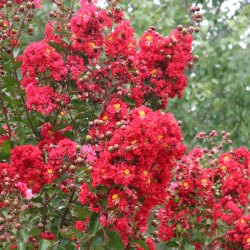 Small Crop Of Red Rocket Crape Myrtle
