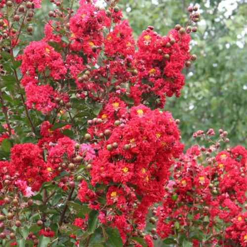 Medium Crop Of Red Rocket Crape Myrtle