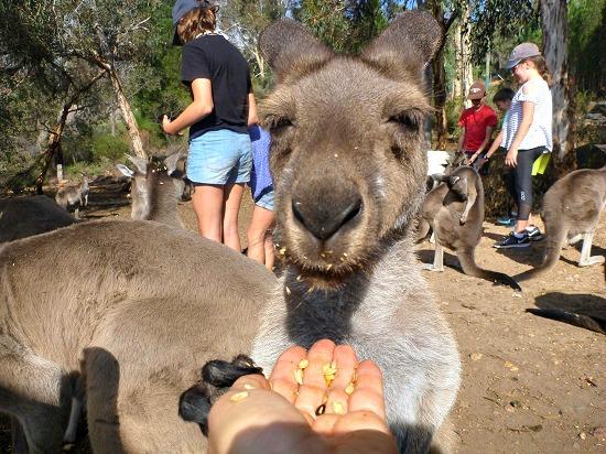 Kangaroos at John Forest National Park