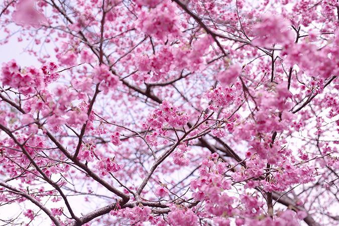 Pentax 50mm f1.4 FA* SDM AW cherry blossom sample image