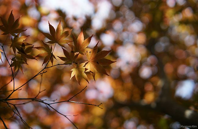 Samyang 50mm f1.4 AF Lens sample autumn leaves image