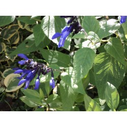 Small Crop Of Black And Blue Salvia