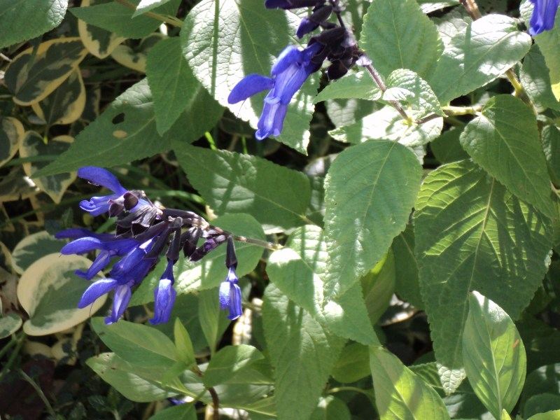 Large Of Black And Blue Salvia