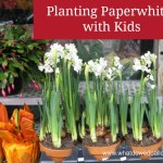 How to Plant Paperwhites Indoors with Kids