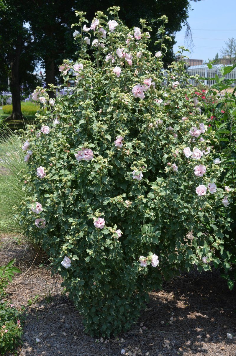 Genial In Ut Colorful Ala Rose What Grows Re Rose Sharon Hedge Winter Rose Hibiscus Syriacus Sharon Hedge Growth Rate