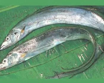 fish names english ribbonfish english pronounciation scientific name