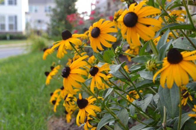 black eyed susan, Summer Garden