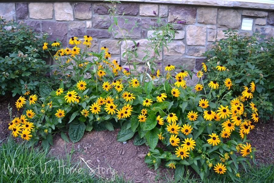 Whats Ur Home Story: Black eyed susan, sun loving plants