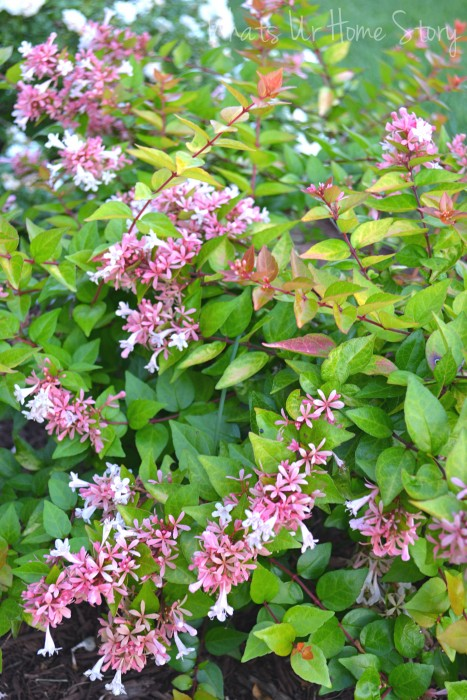 Whats Ur Home Story:  abelia canyon creek, , fragrant flowers