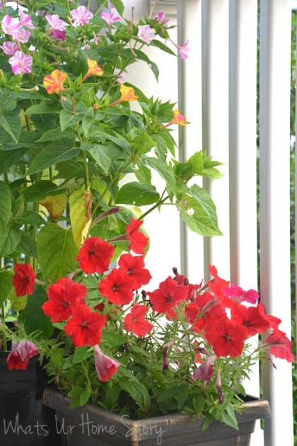 Whats Ur Home Story: four o'clock flower, wave petunia