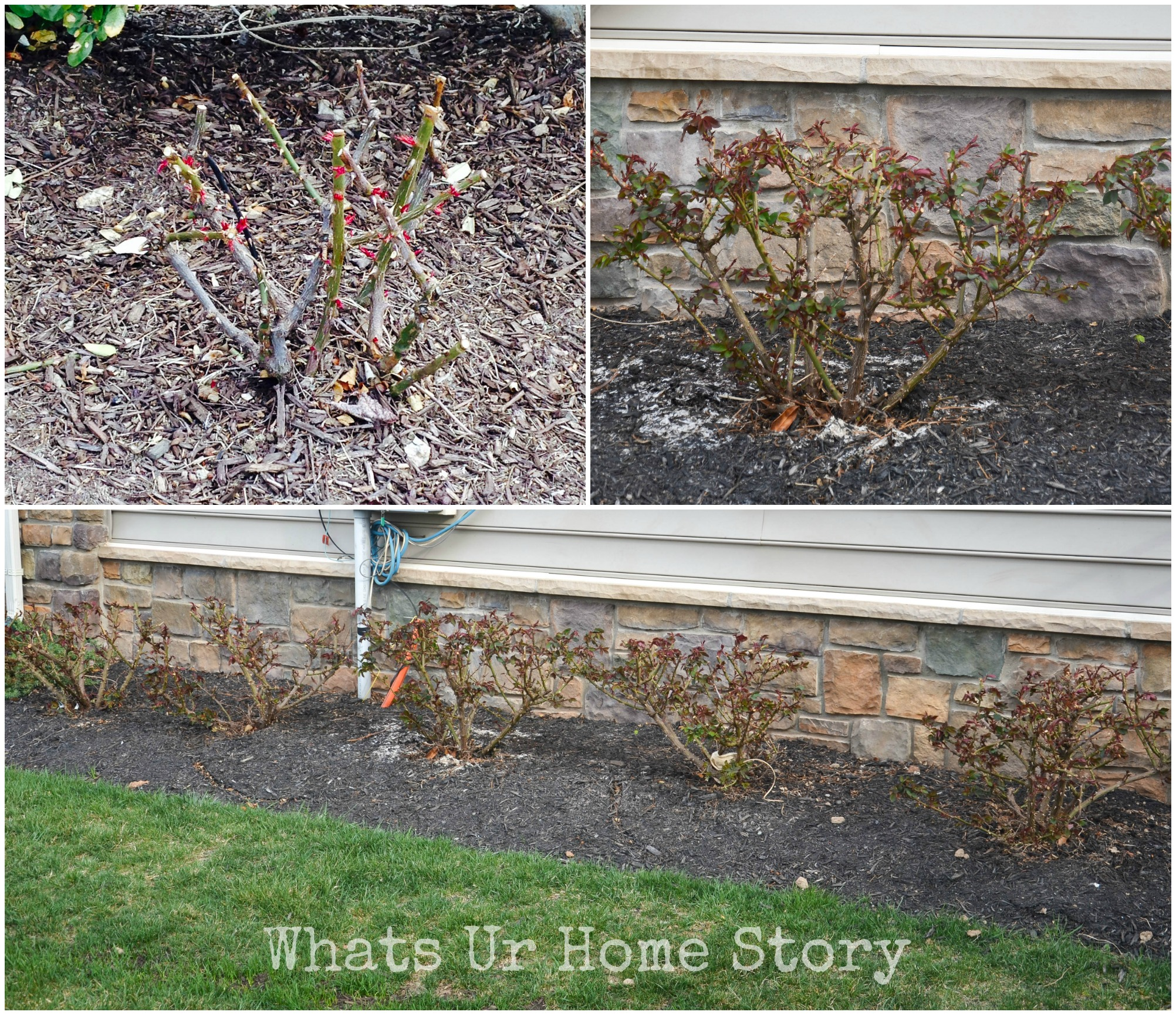 How to prune a rose bush - How To Prune Knockout Rose