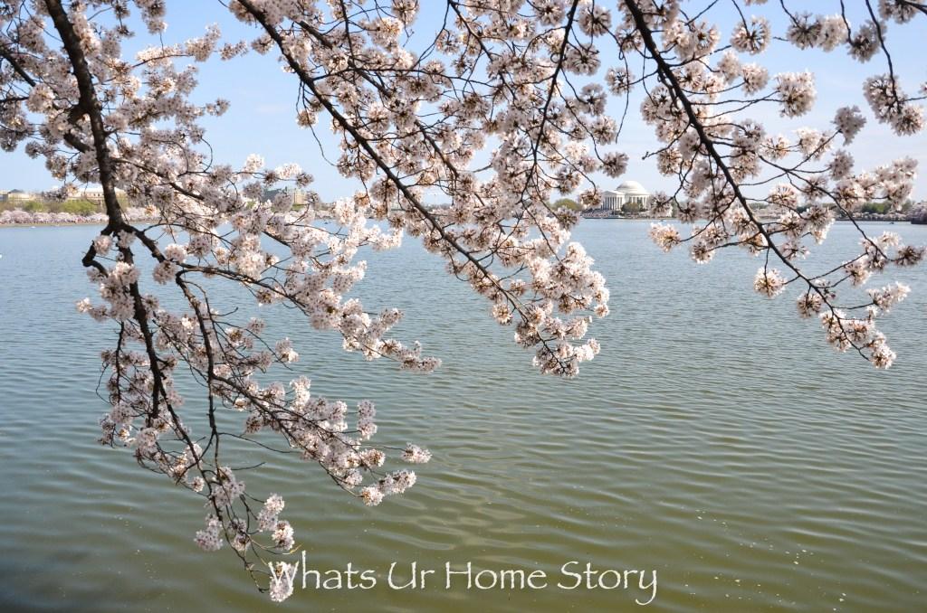 Jefferson Memorial through the cherry blossoms -Cherry Blossom Festival 2016