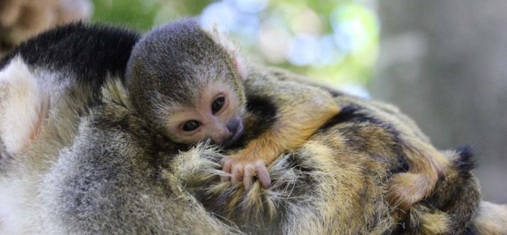 Taronga Zoo Squirrel Monkey Photo by Lisa Ridley