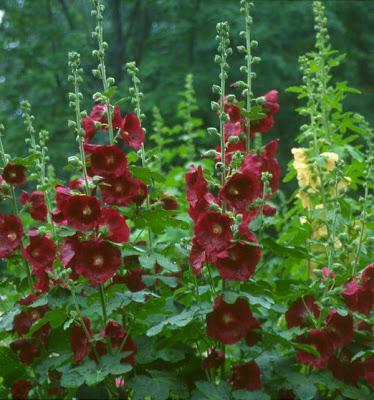 Hollyhock Flower, Image courtesy Photography-blog.blogspot.com