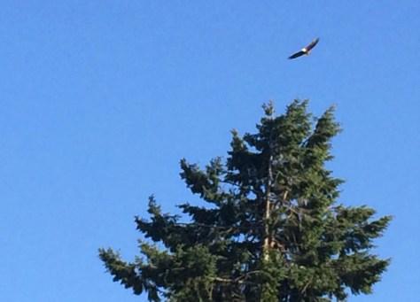 Bald Eagle, Annapolis, Washington, Photo Romi Cortier
