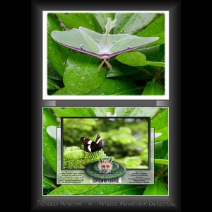 #2030 Luna Moth Notecard