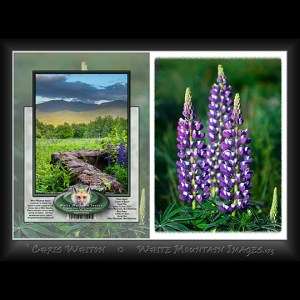 #2035 Lupine Blooms Notecard