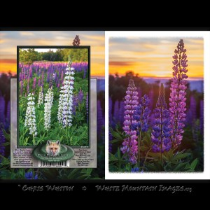 #2054 Lupine Blooms at Sunset Notecard