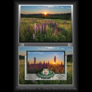 #2061 Lupine Blooms at Sunrise Notecard
