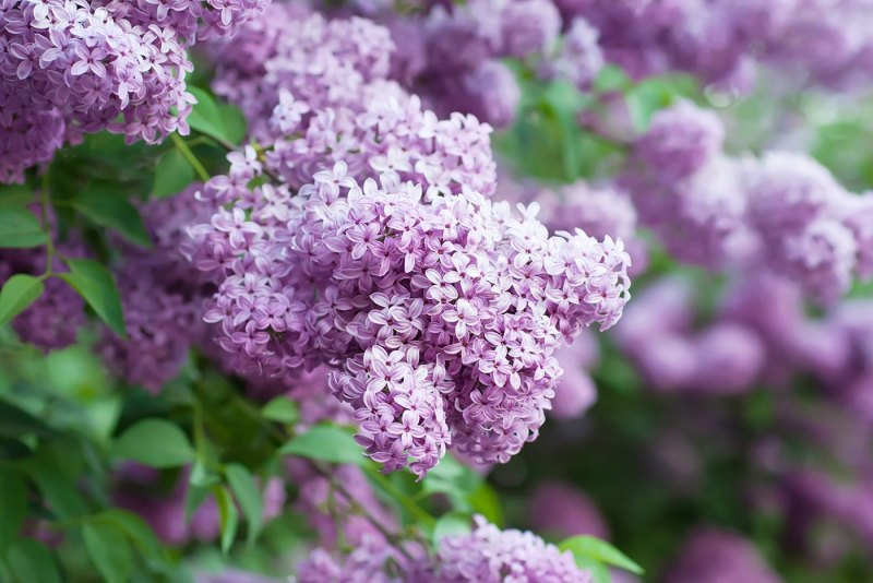 Large Of Dwarf Korean Lilac