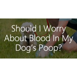 Small Crop Of Blood In Dog Poop