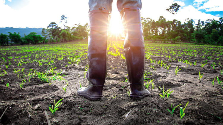 Farmer in rubber boots standing in cornfield with light of sunset. agricultural concept.