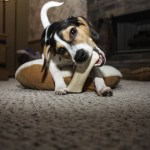 Tips Sharing: How to Stop Your Dog from Chewing
