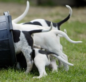 EAST GRINSTEAD, ENGLAND - JULY 1: Fox hound puppies feed from a bucket as hunting season approaches July 1, 2003 in East Grinstead, England. The House of Commons yesterday debated the hunting bill, which saw MP's voting for an outright ban on hunting with dogs. (Photo by Ian Waldie/Getty Images)