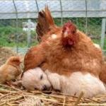 The Journey of Raising Dogs with Chicks