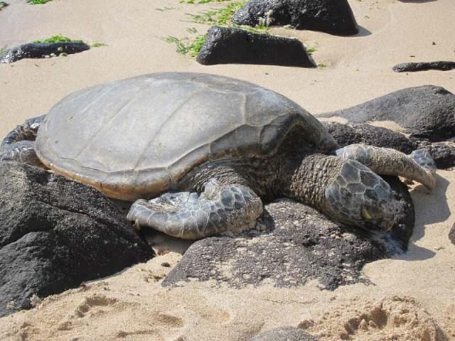 [夏威夷好玩] 來夏威夷怎麼可以不去看海龜們? - Laniakea Beach