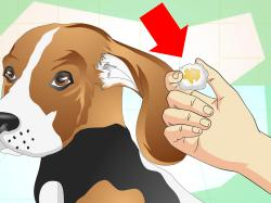 Inspirational Dogs Wikihow Why Does My Dog Shake When He Sleeps Why Does My Dog Shake When He Wakes Up How To Heal Ear Infections