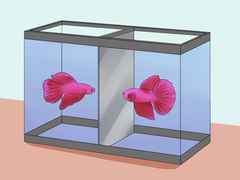 Large Of Betta Fish Lifespan