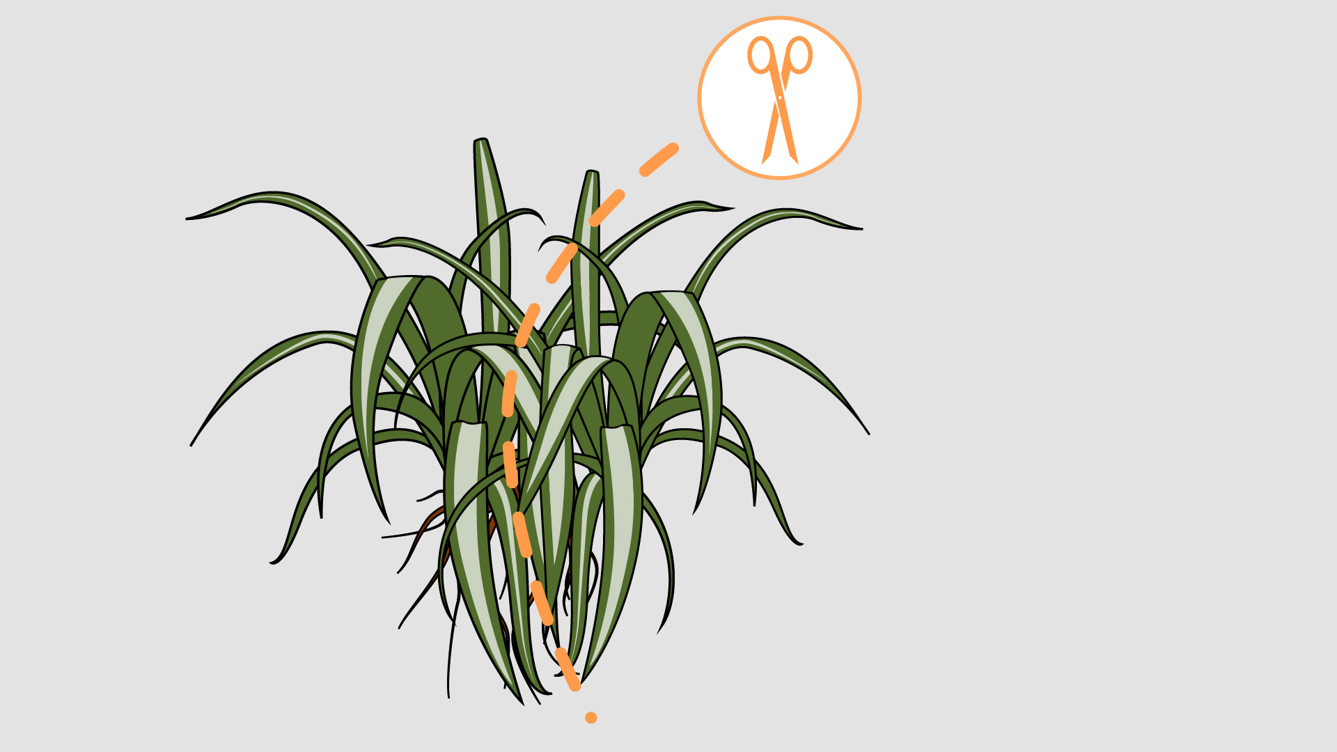 Sophisticated How To Care A Spider Steps Wikihow Spider Plant No Babies Spider Plant Babies Turning Brown houzz-03 Spider Plant Babies
