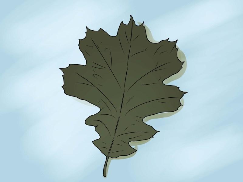 Large Of Live Oak Leaves