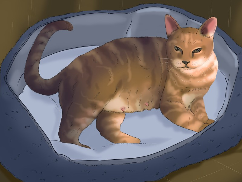 Wondrous Tell If A Cat Is Pregnant Step 12 Version 6 Does Male Cats Have 6 Nipples Do Male Cats Have Nipples