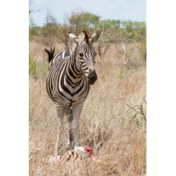 Small Crop Of Pictures Of Zebras