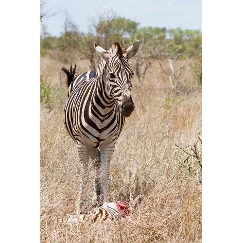 Medium Crop Of Pictures Of Zebras
