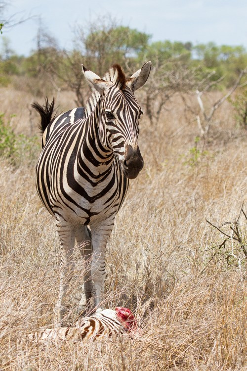 Medium Of Pictures Of Zebras