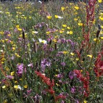 meadow seeds when to sow
