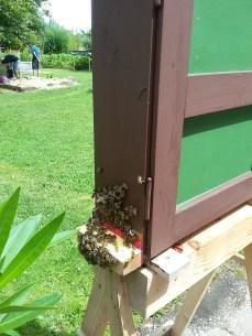 Der Schau-Bienenstock der Imker.