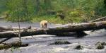 Kermode or Spirit Bear in Great Bear Rainforest