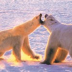 The Mother of All Polar Bear Tours